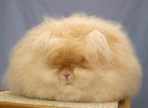 アンゴラウサギの画像 p1_12